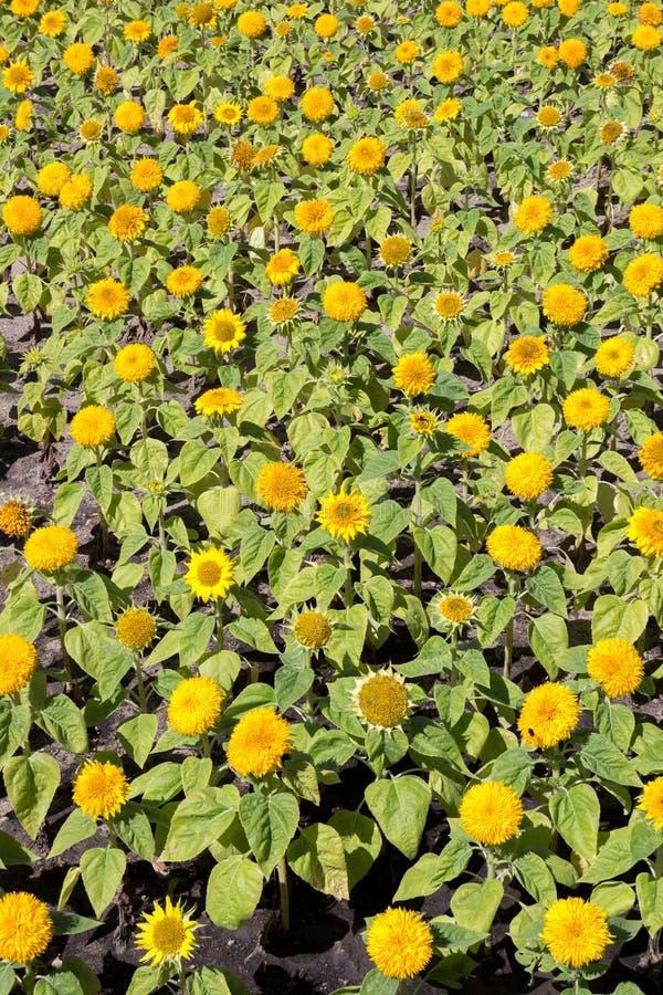 Yellow sunflower. Summer sunny day stock image