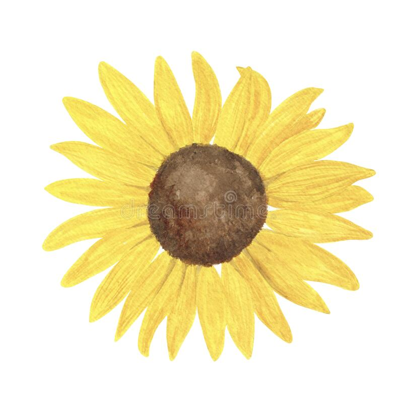 Free Yellow Sunflower Watercolor Hand Drawn Floral Illustration, Summer Field Agricultural Plant, Flower Head Without Stem And Leaves, Royalty Free Stock Photos - 216818748