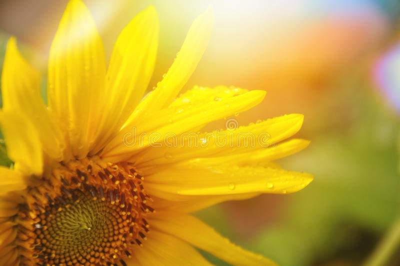 Yellow sunflower. Yellow wet summer sunflower, background stock image