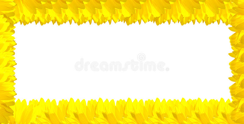 Yellow Sunflower on the white background stock photo