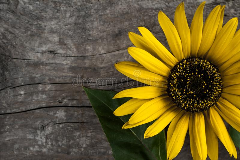 Yellow sunflower on  wooden background with copy space. Abstract  floral composition, flat lay, top view, minimal style. Yellow sunflower on  wooden background royalty free stock photos