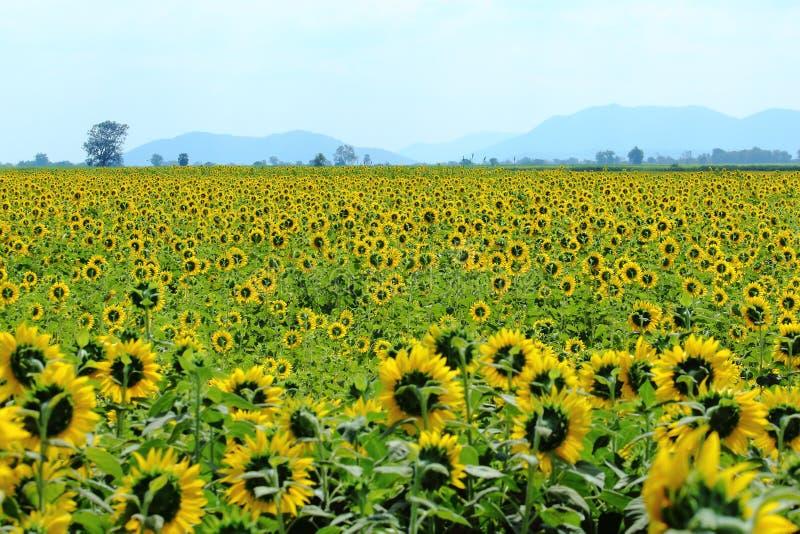 Yellow Sunflowers Blooming Through the fields stock photo