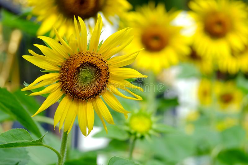 Yellow Sunflowers on blurred background stock photos