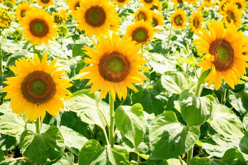 yellow sunflowers on field in Val de Loire stock photo
