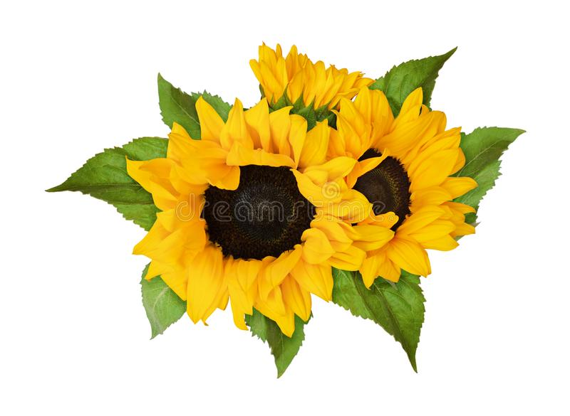 Yellow sunflowers and green leaves in summer arrangement stock image