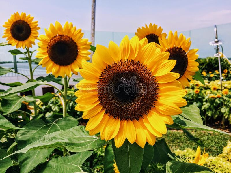 Yellow sunflowers with green stems. With the best quality and resolution royalty free stock photos