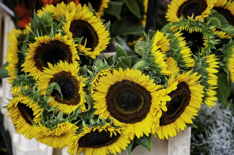Yellow sunflowers in a market. Flower detail, seed, organic, clear, earth, sunset, scene, botany, decorative, gold, circle, blooming, white, farming, season stock photos