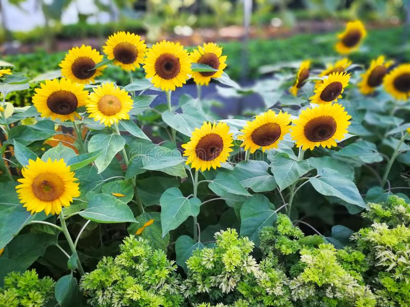Yellow sunflowers with motion blur. With the best quality and resolution royalty free stock photos