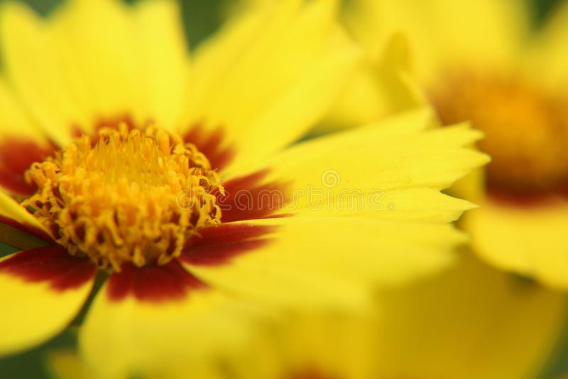 Yellow sunkiss flower - Coreopsis grandiflora royalty free stock photography