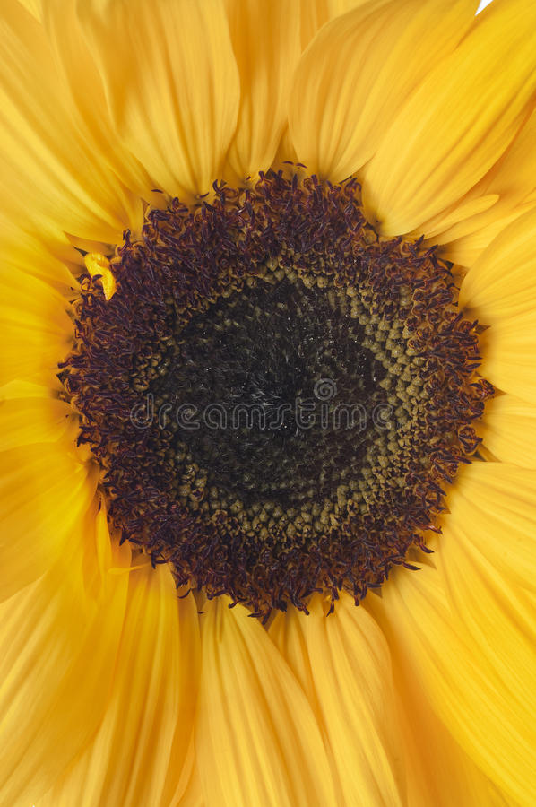 Download Yellow sunlower  on white stock photo. Image of blossom - 23815248