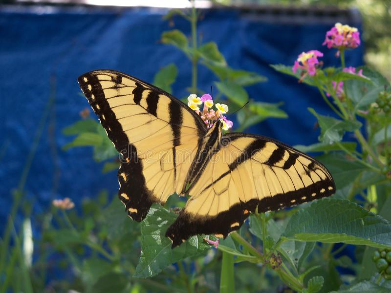 Yellow swallow tail butterfly and lantana. A large yellow and black swallowtail butterfly perches on wild lantana flowers stock images