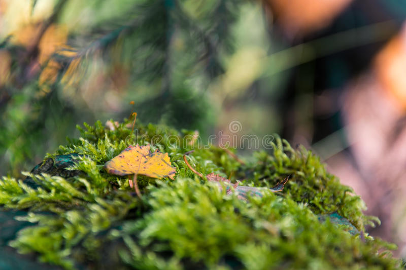 Yellow swallows and green moss on a blurry image stock images