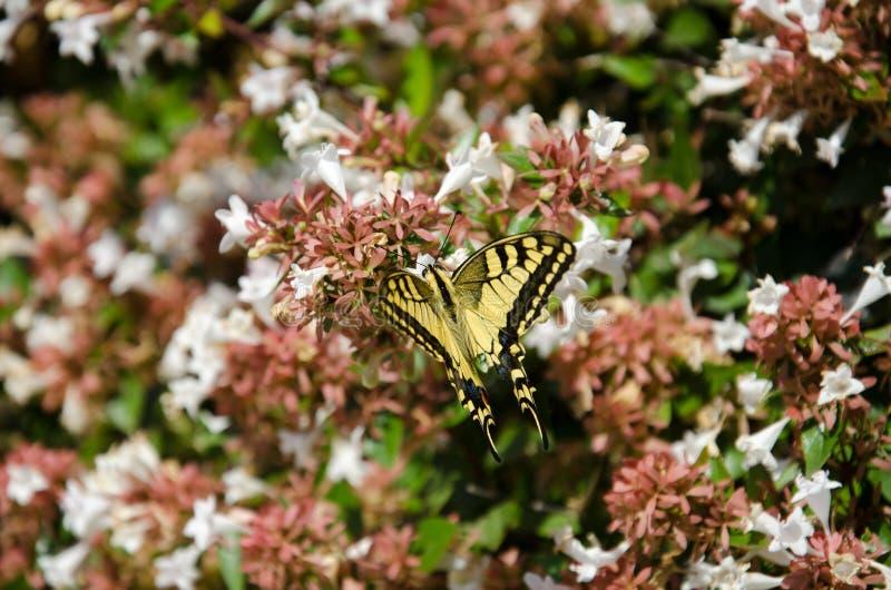 Yellow swallowtail butterfly. On abelia flowers stock photos