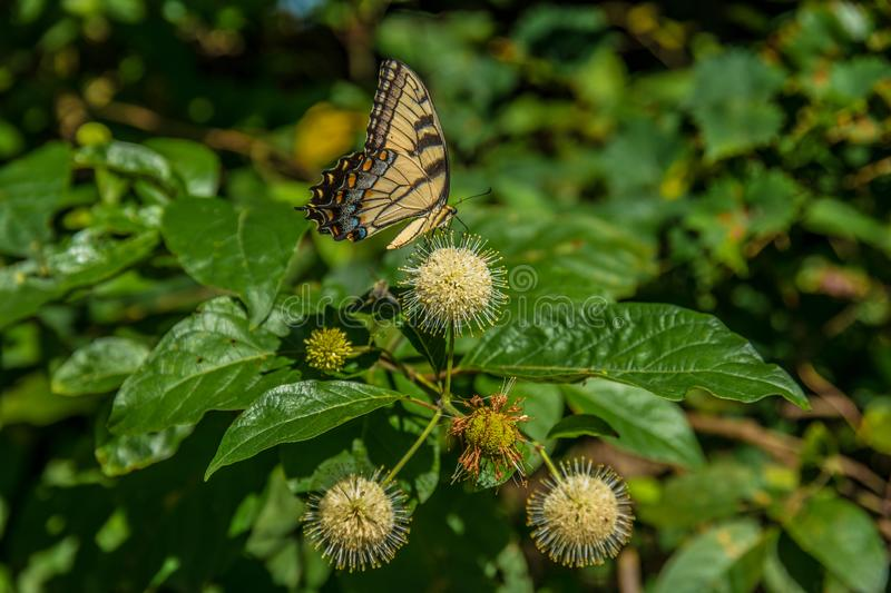 Yellow swallowtail butterfly on a plant. Yellow swallowtail butterfly on a buttonbush plant in summer by the lake royalty free stock image