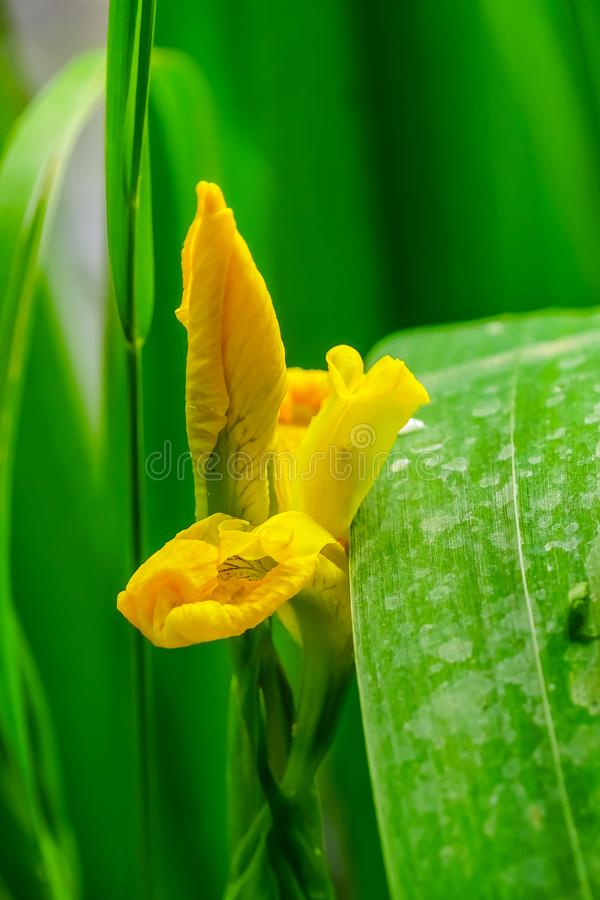 Yellow Swamp Iris Green Leaves royalty free stock photography