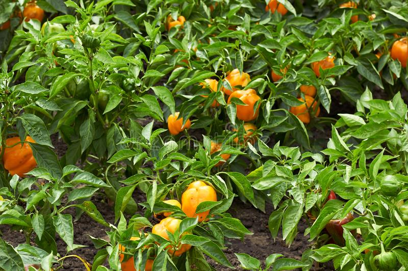 Yellow sweet pepper grow in the garden royalty free stock photography
