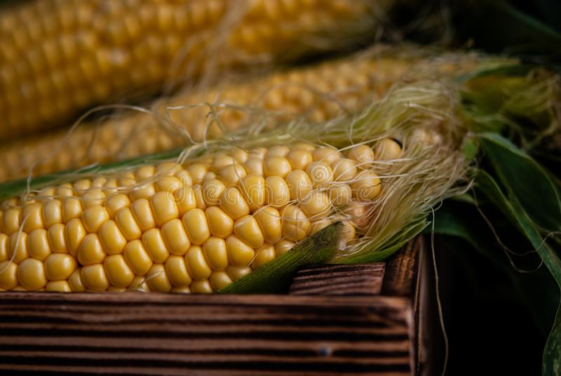 Yellow sweet raw corn in a wooden box on a black background royalty free stock images