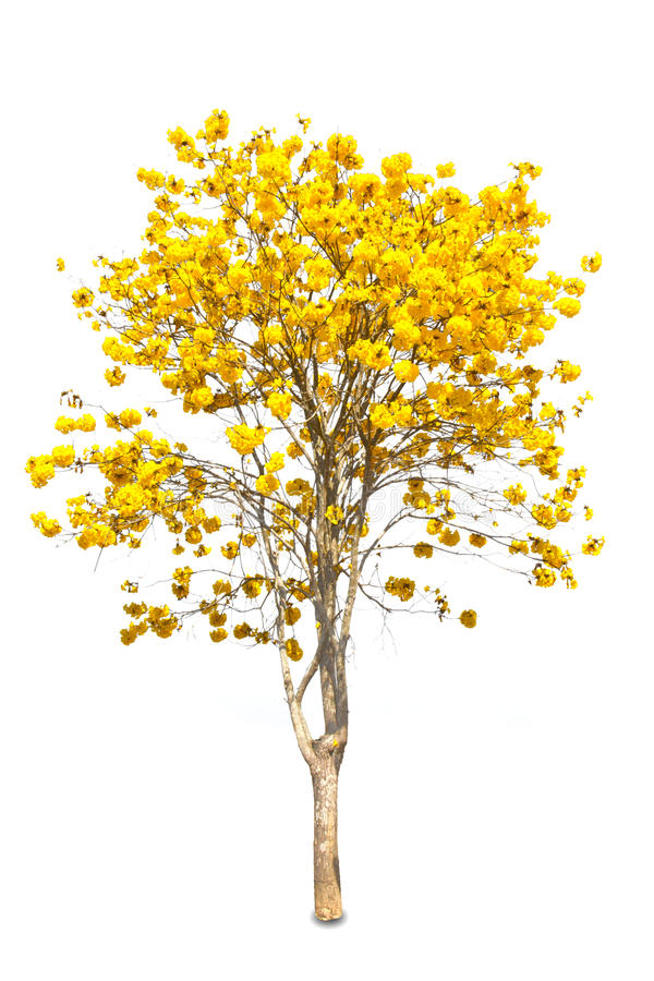 Download Yellow tabebuia flower stock image. Image of isolated - 32383261