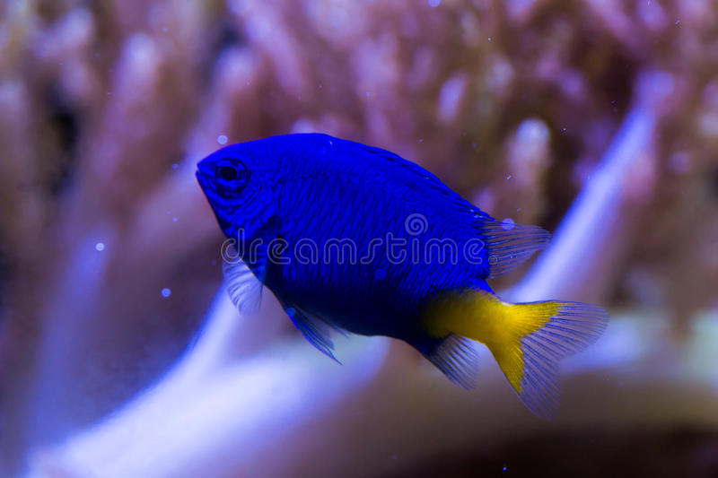 Yellow tail damsel fish. And a coral pink background stock photos