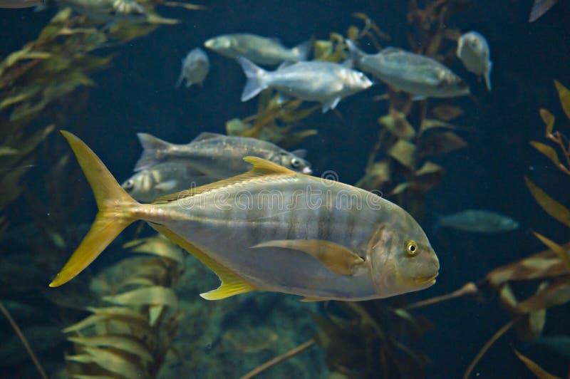 Yellow tail fish