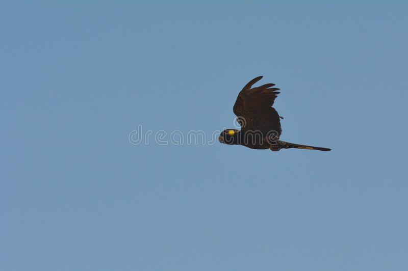 Yellow-tailed black cockatoo fly in blue sky stock images