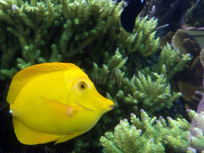 Yellow tang stock image