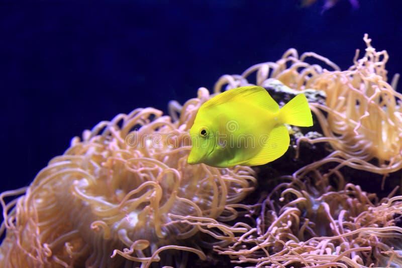 Yellow tang royalty free stock image