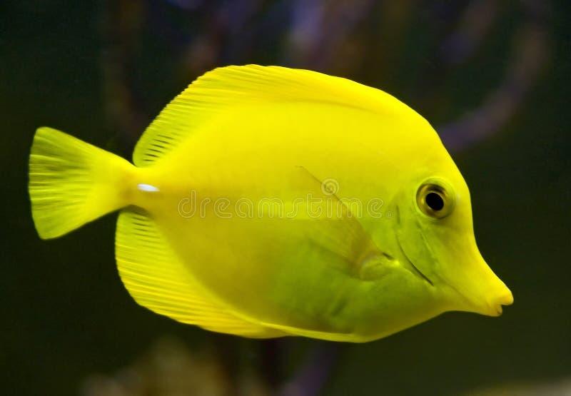 Yellow tang 2 royalty free stock images