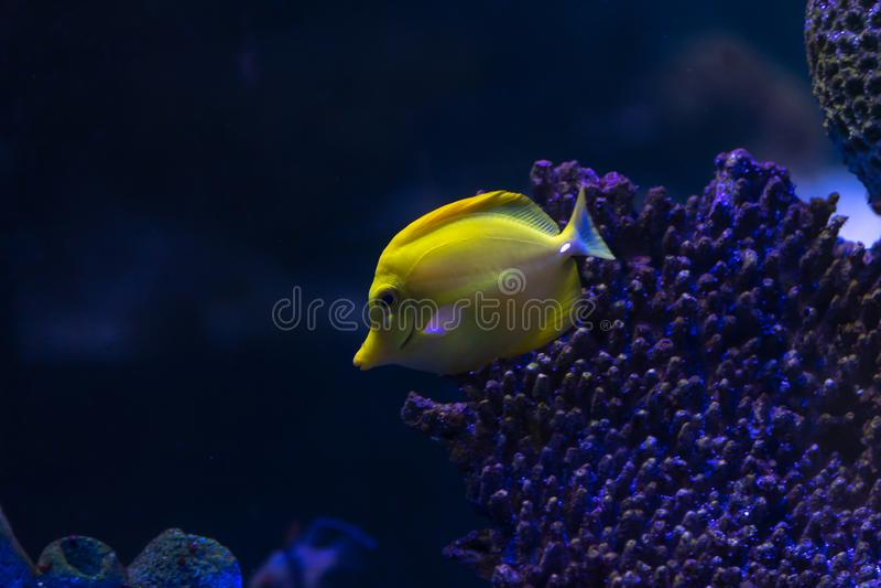 Yellow Tang in aquarium tank. royalty free stock photography