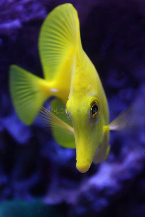 Yellow Tang fish stock images
