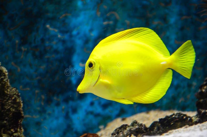 Yellow tang. stock photography