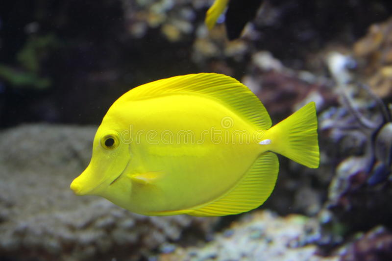 Yellow Tang. Many marine tropical fish, as this Yellow tang, and particularly those of interest to fishkeepers, are those that live among or in close relation to royalty free stock photo
