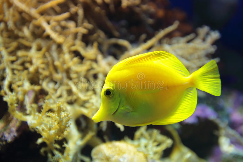 Download Yellow tang stock photo. Image of saltwater, wildlife - 43758812