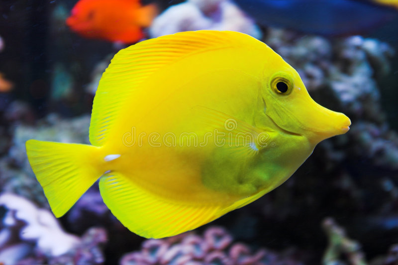 Yellow Tang saltwater fish stock images