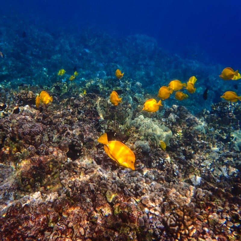 Yellow Tang Tropical Fish Swimming on Hawaiian Reef royalty free stock image