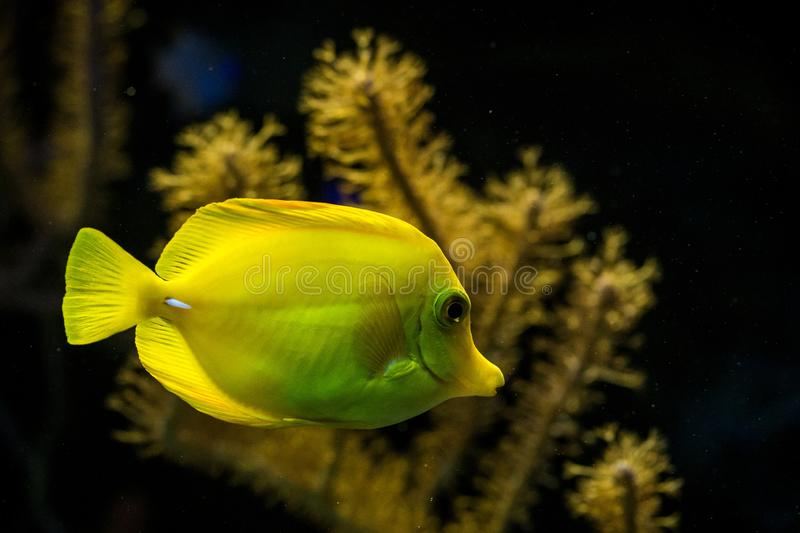 Yellow tang Zebrasoma flavescens, coral reef fish, Salt water marine fish, beautiful yellow fish with tropical corals. In background, aquarium, wallpaper royalty free stock image