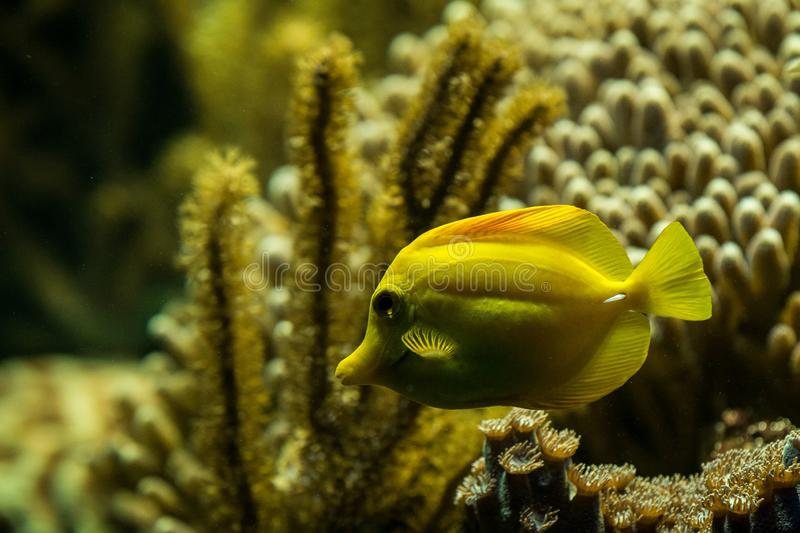 Yellow tang Zebrasoma flavescens, coral reef fish, Salt water marine fish, beautiful yellow fish with tropical corals. In background, aquarium, wallpaper stock images