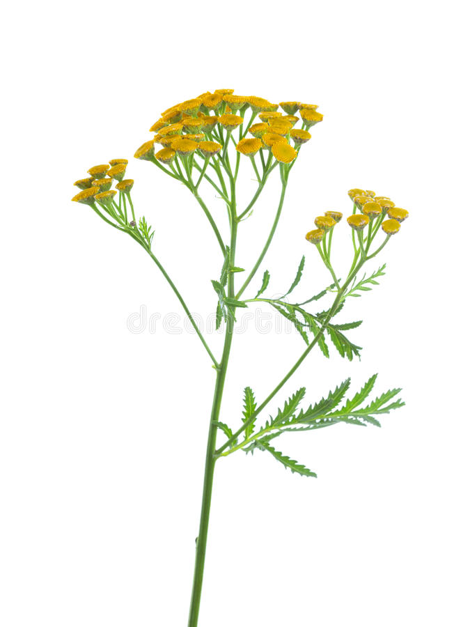 Yellow Tansy Tanacetum vulgare flowers isolated on white background. studio shot.  royalty free stock photography