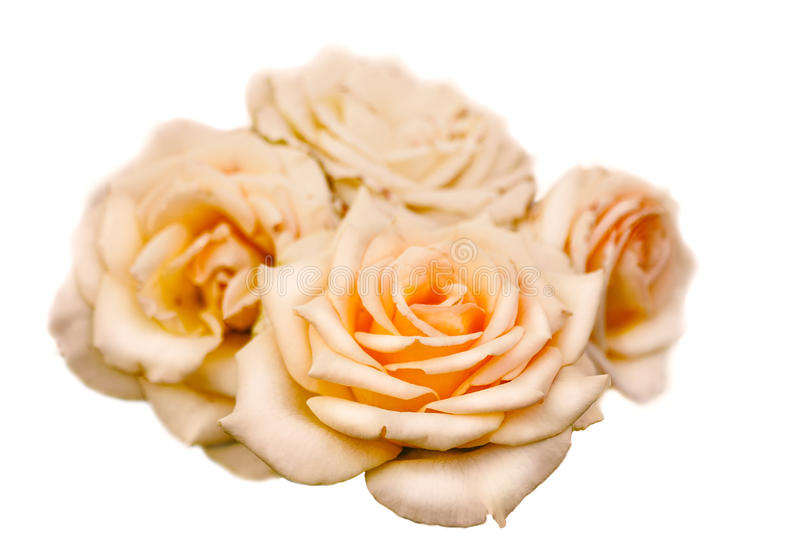 Yellow tea rose bud isolated royalty free stock photos
