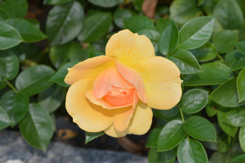 The Yellow tea-rose flower.  stock photography
