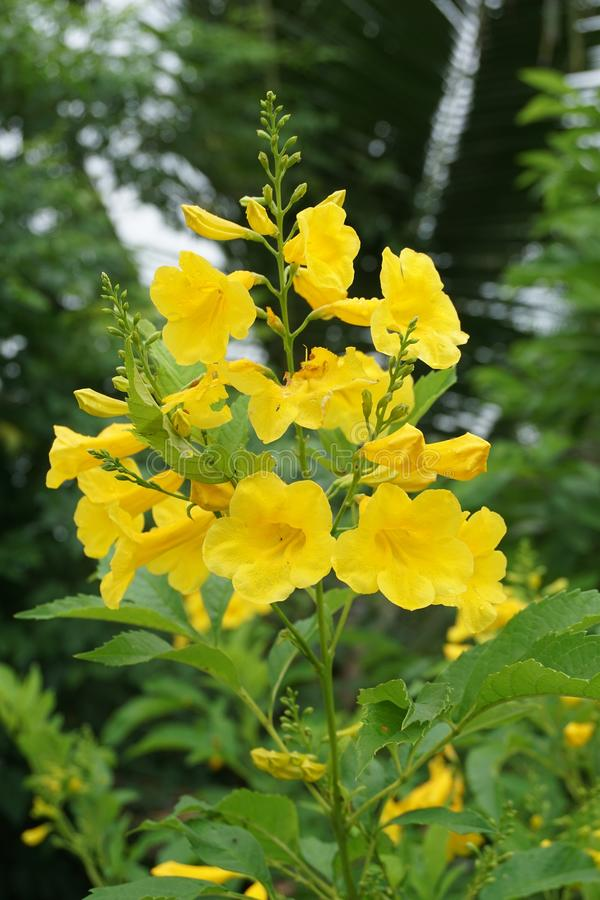 Yellow Tecoma stans flower. In nature garden stock image