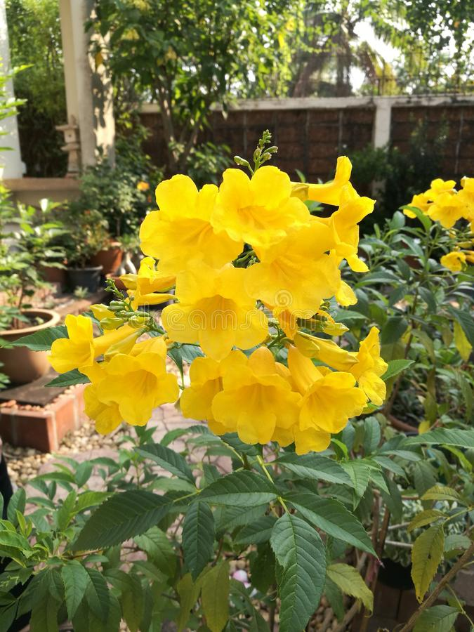 Yellow tecoma stans. Tecoma stans bloom in garden with a bunch of yellow flowers royalty free stock photos