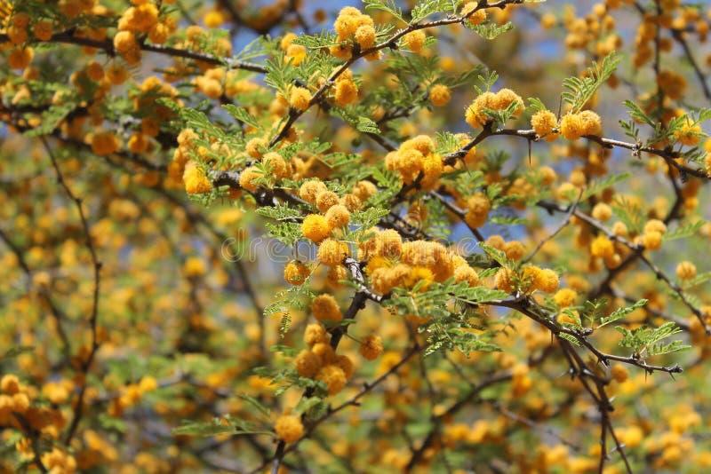 Yellow Texas Mesquite Tree Flowers. Yellow puff ball flowers on a Texas Mesquite tree in the spring stock photos