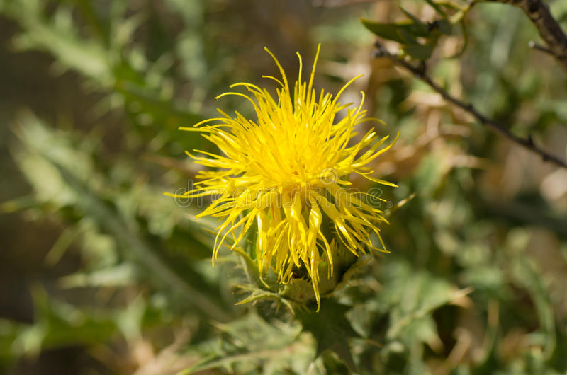 Yellow thistle flower. Of the centaurea family stock photo