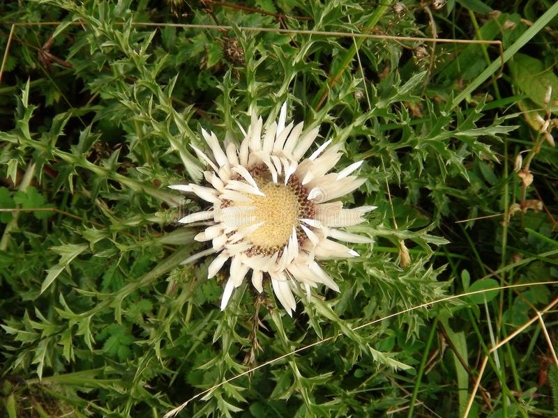Image result for french thistle flower