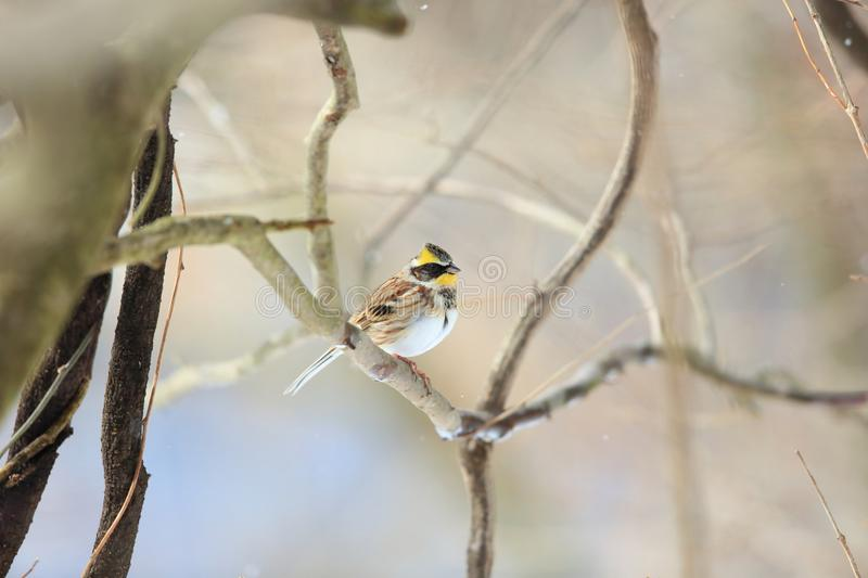 Yellow-throated bunting royalty free stock photography