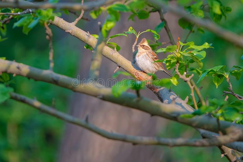 Yellow-throated Bunting stock photography