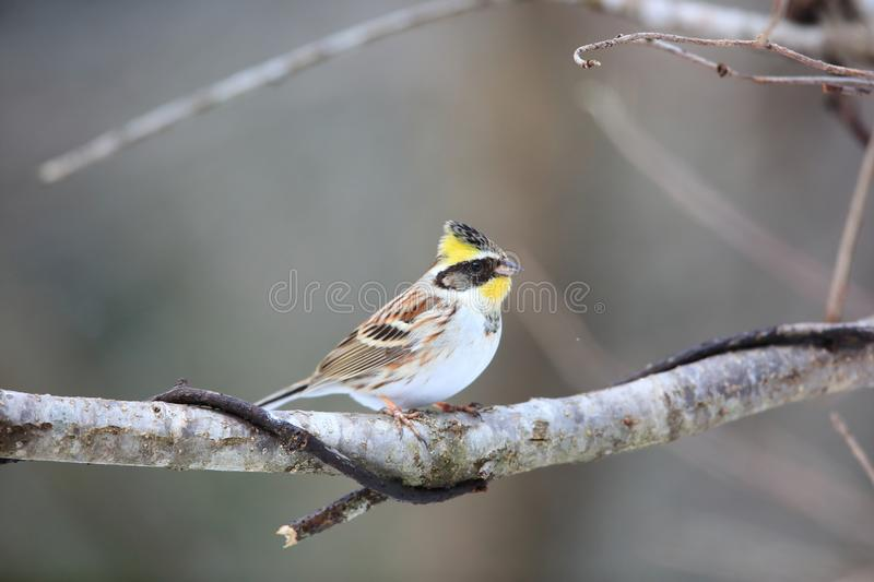 Yellow-throated bunting royalty free stock images