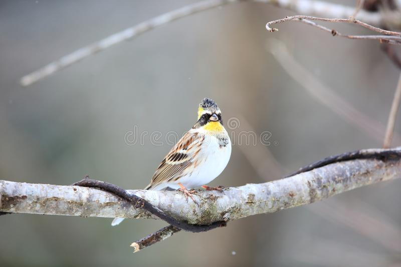 Yellow-throated bunting royalty free stock image