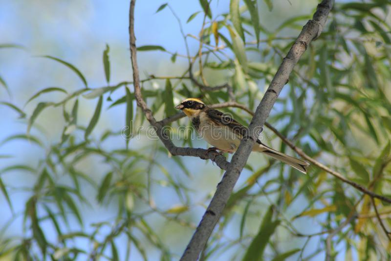 HYS0006:Yellow-throated Bunting in Beijing Olympic Forest Park royalty free stock photography